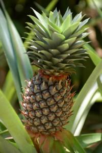 Adult Pineapple