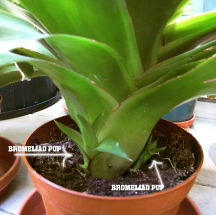 Bromeliad Pups