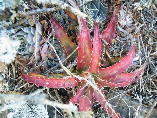 Hechtia Bromeliad