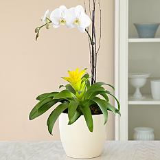Mother's Day Orchid Bromeliad