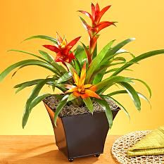 Mother's Day Bromeliad