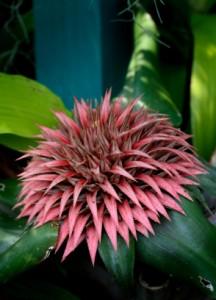 Pink Spiky Bromeliad