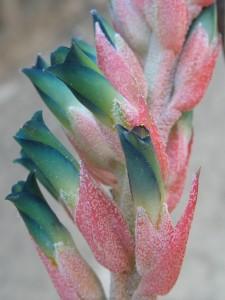 Puya Bromeliad