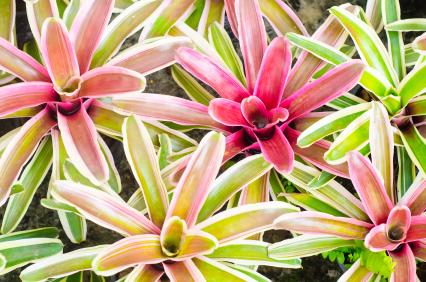 Bromeliad Texture