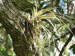 Epiphytic bromeliad