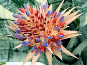 Bromeliad in Bloom